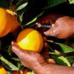 Endulini fruit